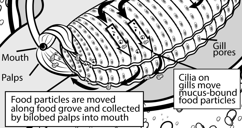 Feeding mechanism Corbicula - Scientific illustration