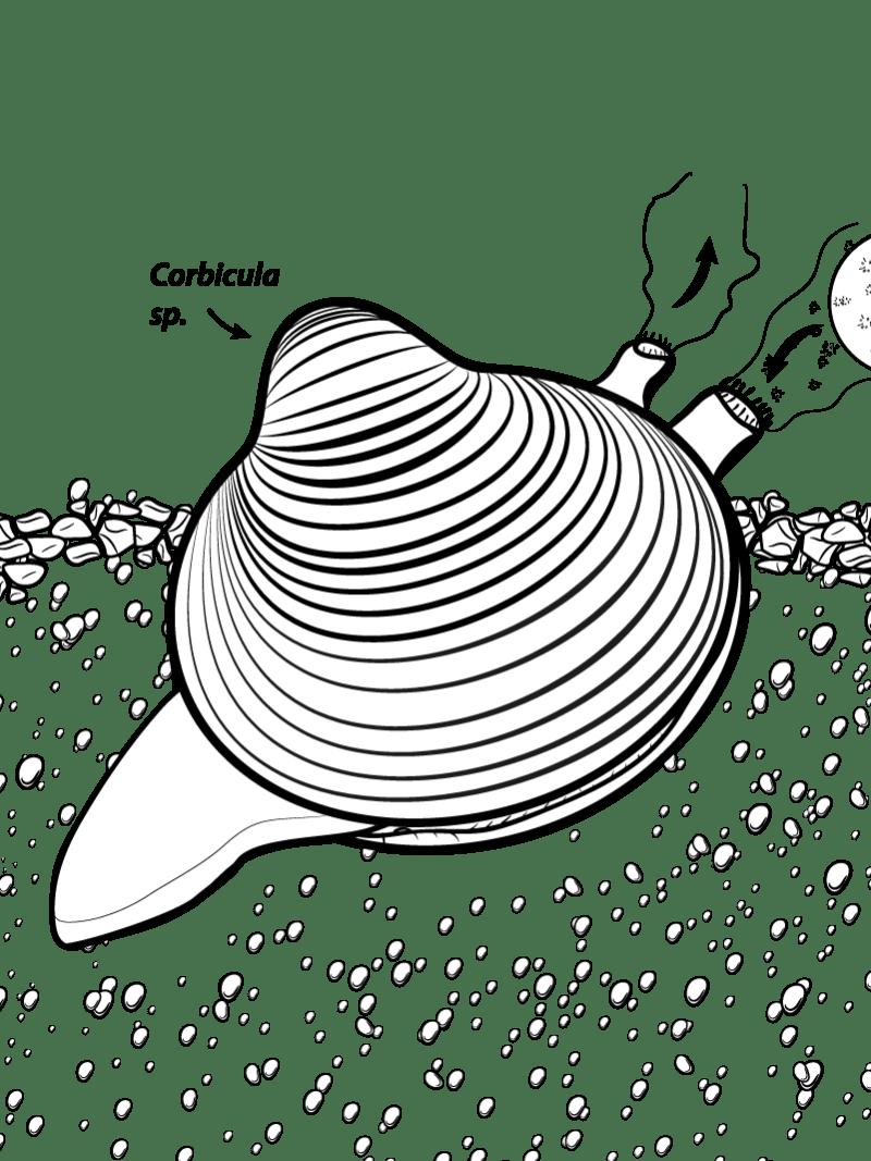 Körbchenmuschel - Wissenschaftsillustration