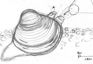 Sketch Corbicula clam