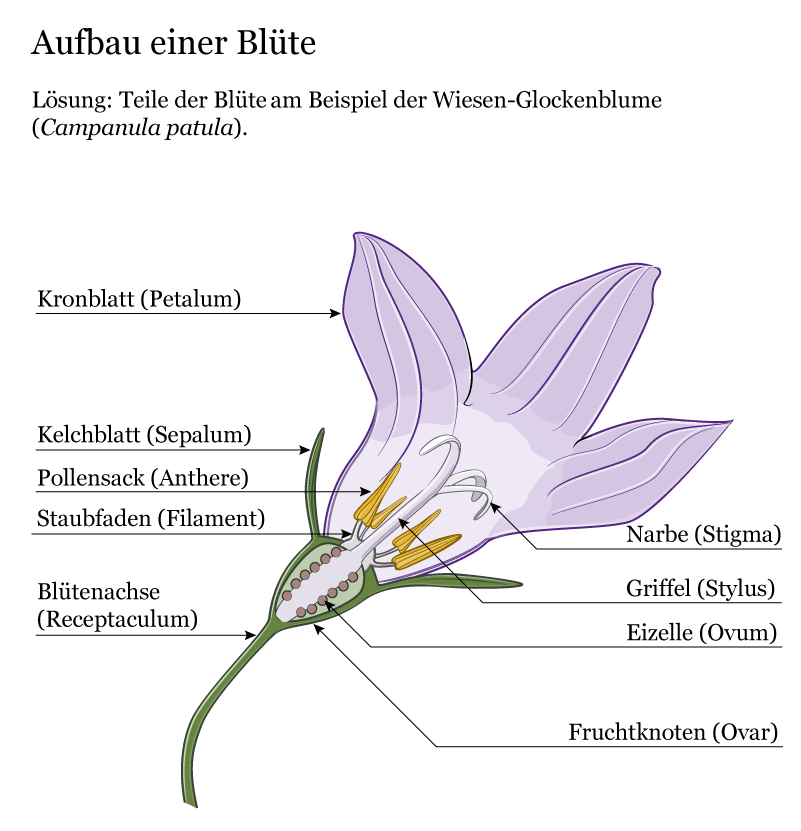 vector drawing of spreading bellflower - anatomical crossection