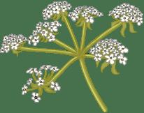 Detail - Apiaceae (cow parsley)
