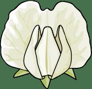 Detail - Fabaceae (Pea)