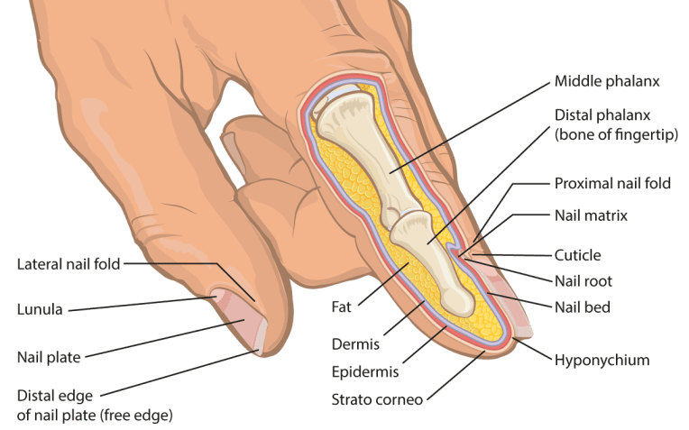 Medical illustration - anatomical cross section of human finger and fingernail - labeled