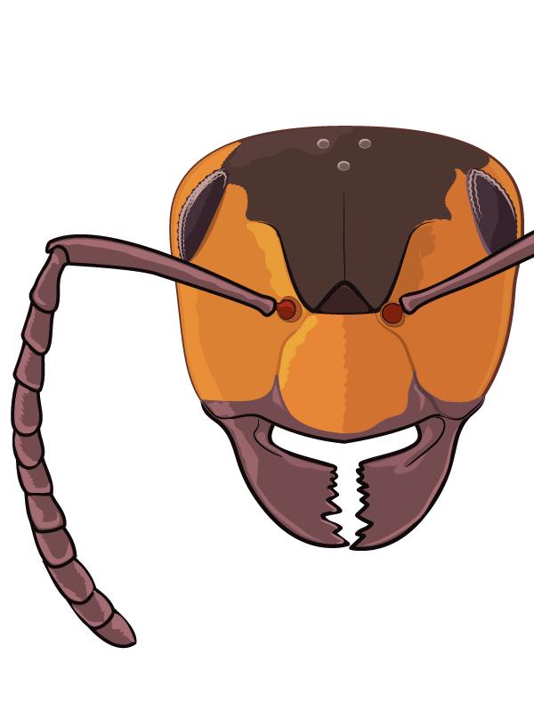 Projektbild Ameisen Morphologie - Waldameise