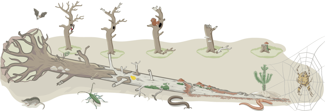 Final vector graphic illustrating the evoluation of a dead wood (or course woody debris) habitat along with the diversity of species forming its biotic community.