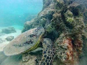 Schildkröte in Hawaii