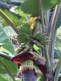 Bananenstaude auf Fiji