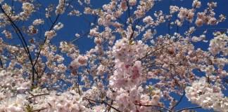 Kirschblüten japanischer Garten Freiburg