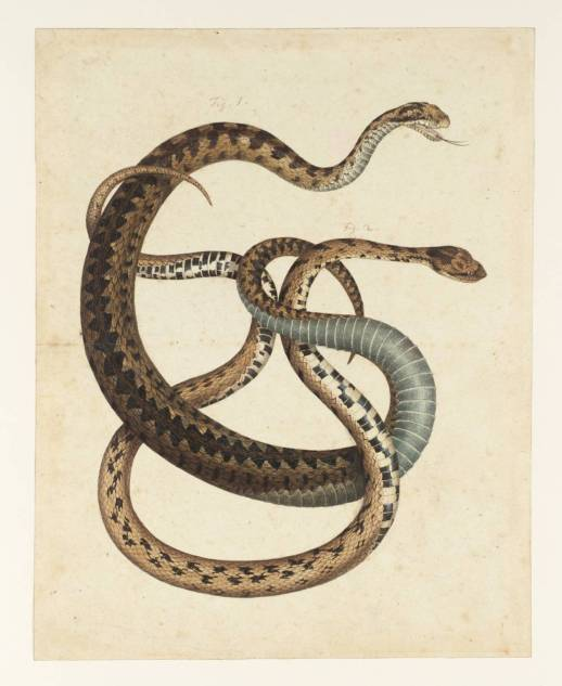 Two Snakes null Albertus Seba null Purchased as part of the Oppé Collection with assistance from the National Lottery through the Heritage Lottery Fund 1996 http://www.tate.org.uk/art/work/T10693