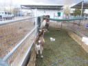 """""""Talk to the tail"""" this here is a mini ram(male) goat"""