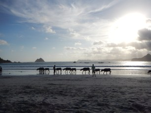A pack of cows crossing the beach