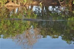 croc in australia