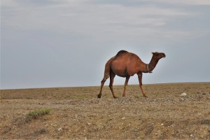 Kamel in der kasachischen Steppe