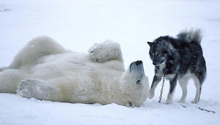 bear-husky1