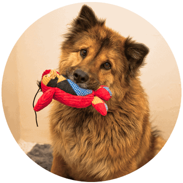 happy dog, dog with toy in mouth, dog training