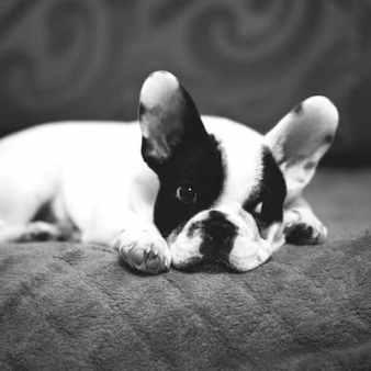Bulldog apartment friendly dog breed