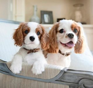 cavalier king charles spaniels kid-friendly