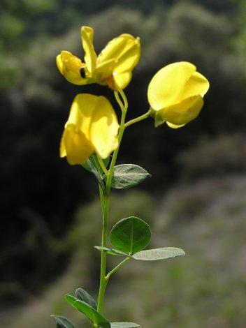 ginestasessilifolia