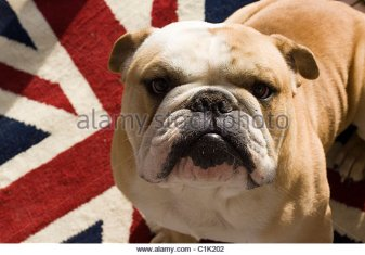 a-british-bulldog-sat-on-a-union-jack-rug-c1k202