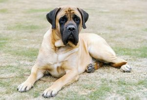biggest-dog-breeds-english-mastiff