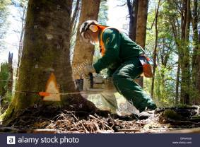 sustainable-forestry-operations-in-chile-loggers-use-chain-saws-instead-BPWKG6