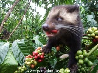 peter-alan-lloyd-BACK-novel-backpackers-in-jungle-danger-ho-chi-minh-trail-vietnam-war-coffee-luwak-civet-cat-coffee-vietnam-saigon-9_resize_resize