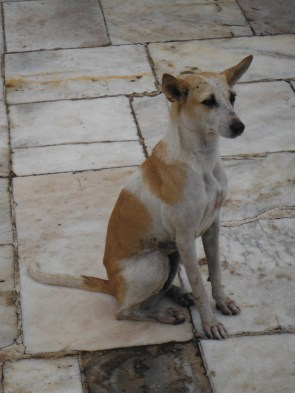 A stray dog at the Taj