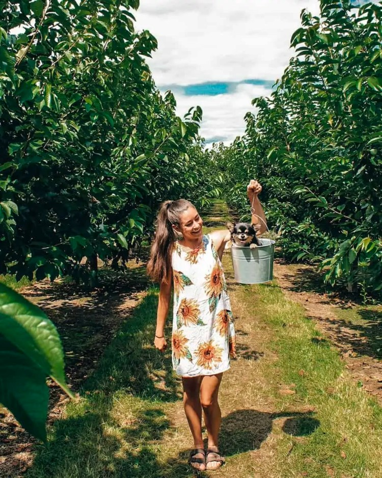 Okanagan Valley British Columbia is known for their fruit orchards. Make sure to stop at an Okanagan Valley orchard when you visit. We stopped at a u-pick cherry orchard in Kelowna British Columbia and had so much fun!