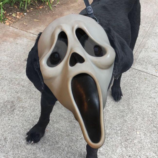 A Labrador With Vitiligo Got The Photoshop Treatment And
