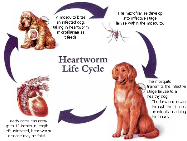 heartworm cycle1