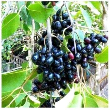Modern Plant Jamun Plant Price In India Buy Modern Plant