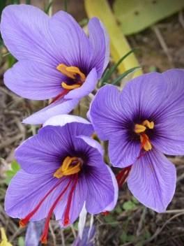 Shop 360 Garden Crocus Sativus Kashmir Saffron Bulbs Not Seeds