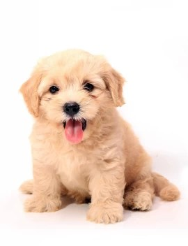 Oshi Cute Puppy 3 Paper Print Animals Posters In India Buy Art Film Design Movie Music Nature And Educational Paintings Wallpapers At Flipkart Com