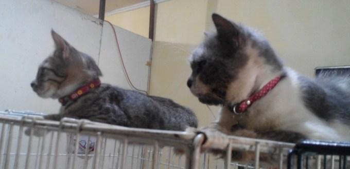 Apakah Steril Kucing Juga Perlu untuk Kucing Jantan?