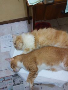 steril kucing