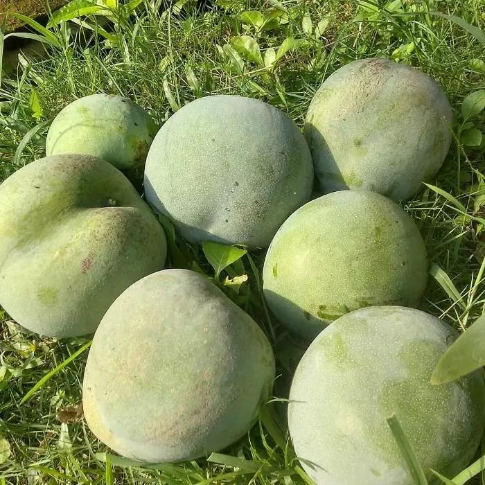 bibit pohon mangga kelapa