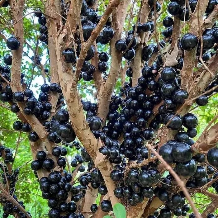 anggur brazil jaboticaba