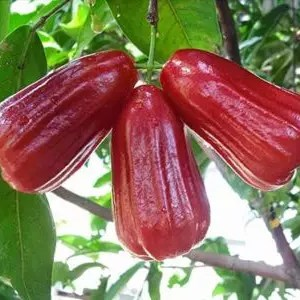 jual bibit jambu air lilin merah