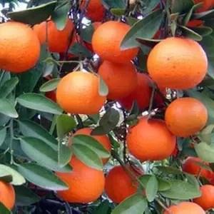 jual bibit jeruk kip