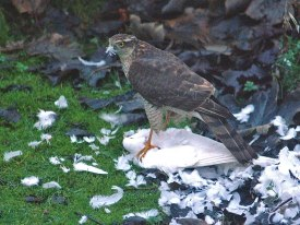 sparrowhawk-small-2