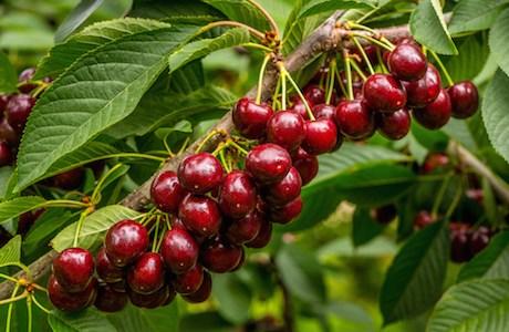 Picking cherries in New Zealand