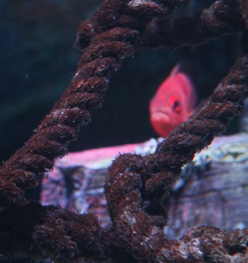 Red-Fish-thru-rope