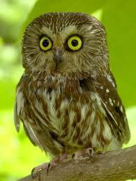 Bateman Saw-Whet Owl Painting