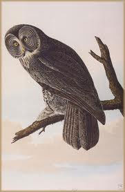 Audubon Great Grey Owl