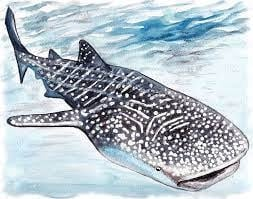 Whale Shark Drawing Project