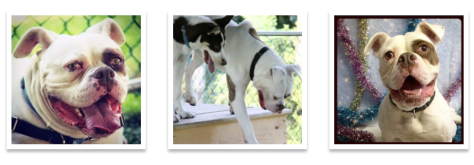 Louie, an American bulldog mix is up for adoption at the MCSPCA. Photo/screenshot of MCSPCA website