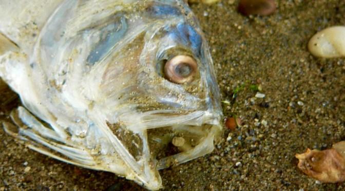The Viral Fish Mortality Story