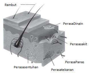 kulit dan bagian bagiannya