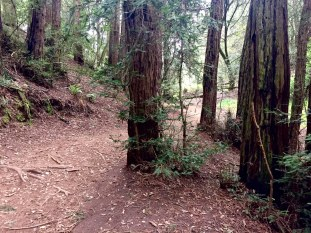 westridge_redwoods