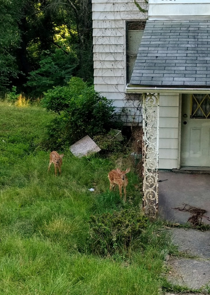 Fawns with spots alongside a porch